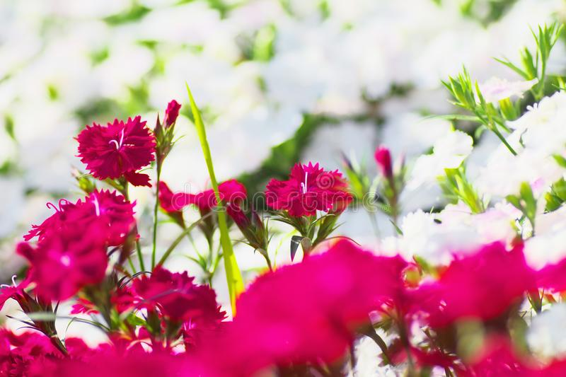 Flower field of dianthus telstar. Magenta color and white color stock images