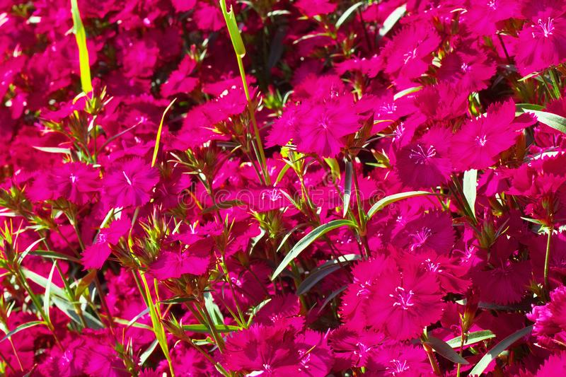 Flower field of dianthus telstar. Magenta color royalty free stock image