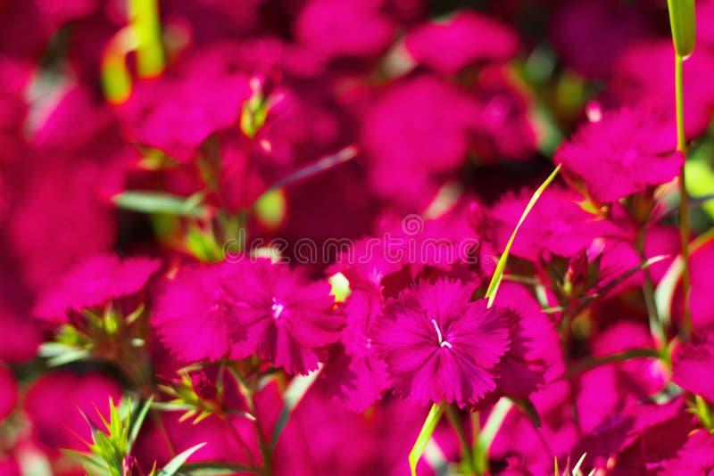 Flower field of dianthus telstar. Magenta color stock images