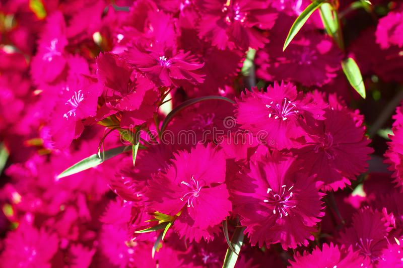 Flower field of dianthus telstar. Magenta color stock photography