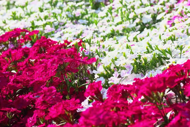 Flower field of dianthus telstar. Magenta color and white color stock image
