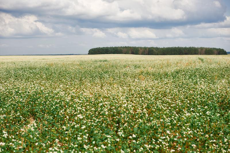 Flower field, flowering buckwheat and forest far on the horizon, beautiful bright sky with clouds, beautiful summer landscape stock photo