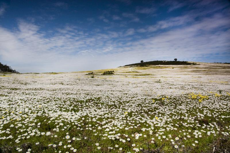 Flower field. Landscape view of a wide daisy flower field on the countryside royalty free stock photos