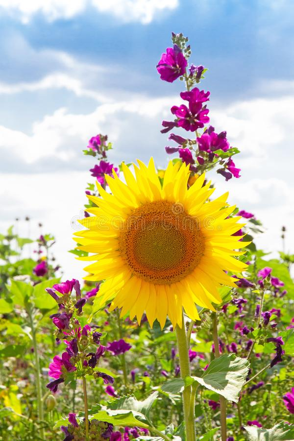 Flower field in summer. Natural field with various flowersin summer royalty free stock photo
