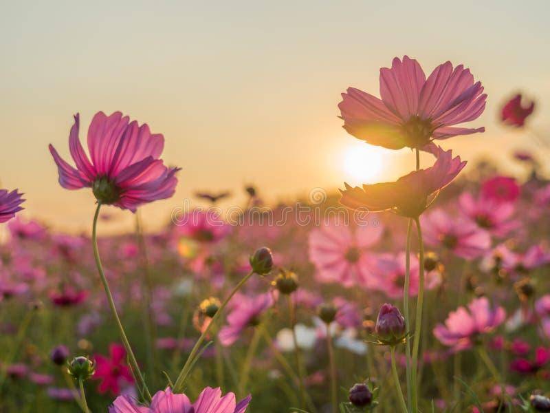 Flower field in summer.Scenery view of beautiful cosmos flower field in morning.Pink flowers field landscape.  royalty free stock image