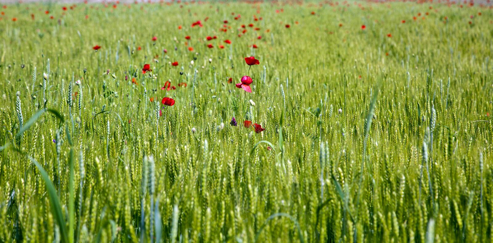 Flower on the field of wheat royalty free stock images