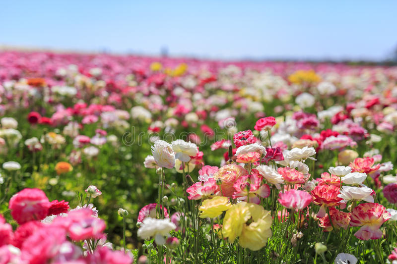 The Flower Fields. The beautiful Flower Fields at Carlsbad, California stock image