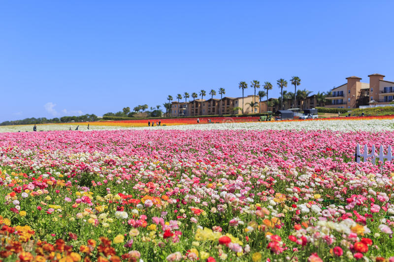 The Flower Fields. The beautiful Flower Fields at Carlsbad, California stock images