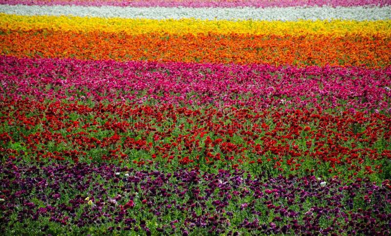 Flower Fields. Carlsbad Flower Fields in springtime stock photography
