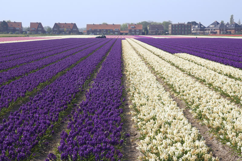 Download Flower Fields Holland stock photo. Image of farmland - 21813874
