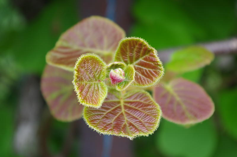 Flower of figs. royalty free stock images