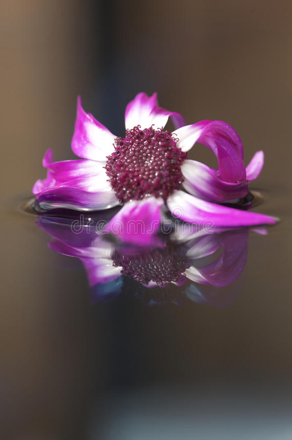 Flower floating on water. Purple flower floating and reflecting on water royalty free stock photography