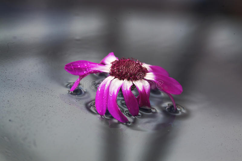 Flower floating on water. Single purple flower floating on water royalty free stock photo