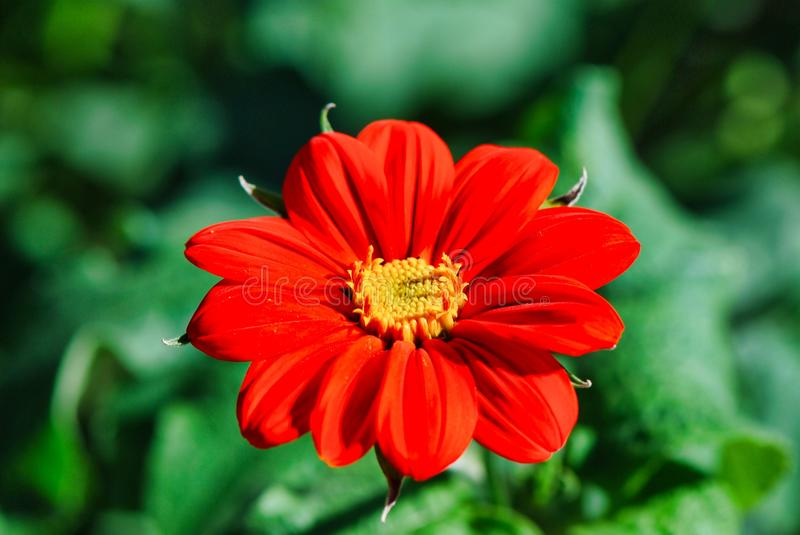 Flower, flora, plant, petal, close up, annual plant, macro photography. Flower is flora, close up and daisy family. That marvel has plant, annual plant and royalty free stock photos