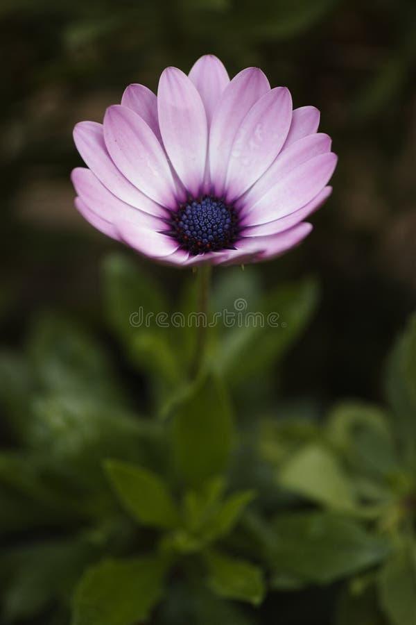 Flower, Flora, Garden Cosmos, Purple Free Public Domain Cc0 Image