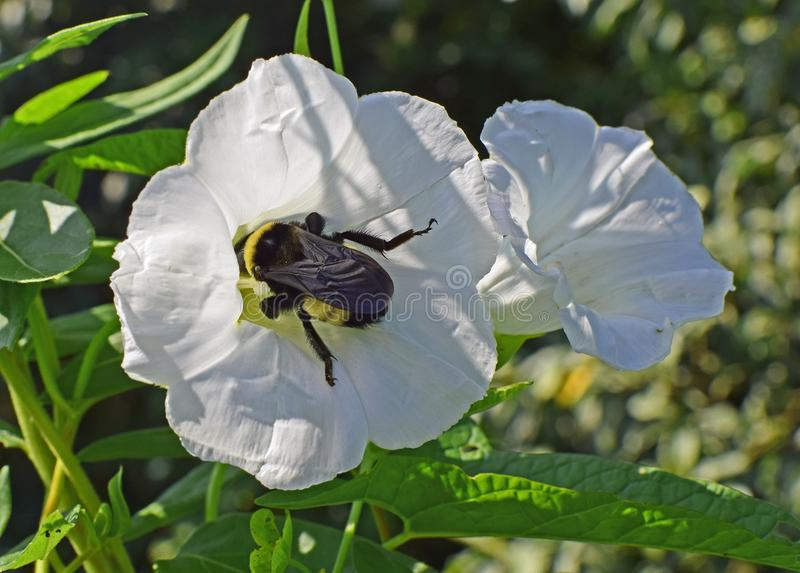 Flower, Flora, Insect, Pollinator royalty free stock photo