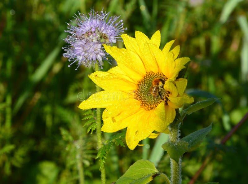 Flower, Flora, Nectar, Honey Bee royalty free stock photography
