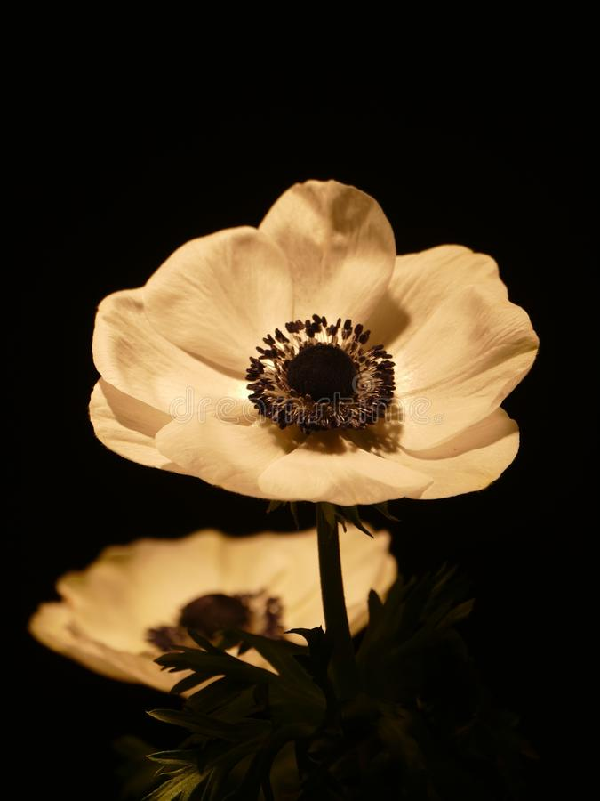 Flower, Flora, Petal, Still Life Photography stock photo