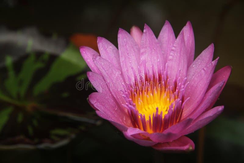 Flower, Flora, Pink, Yellow stock photo