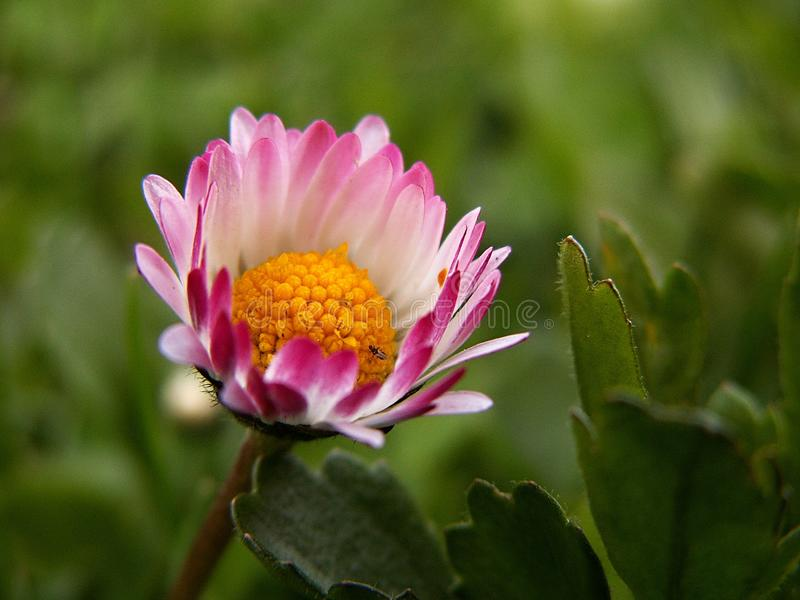 Flower, Flora, Plant, Daisy royalty free stock photo