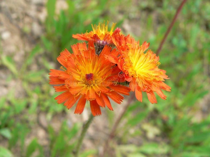 Flower, Flora, Wildflower, Daisy Family Free Public Domain Cc0 Image