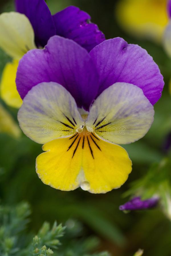 Flower, Flora, Yellow, Pansy royalty free stock images