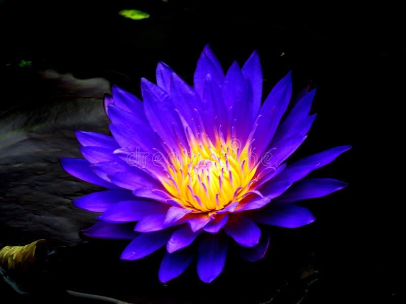 Flower, Flora, Yellow, Purple stock images