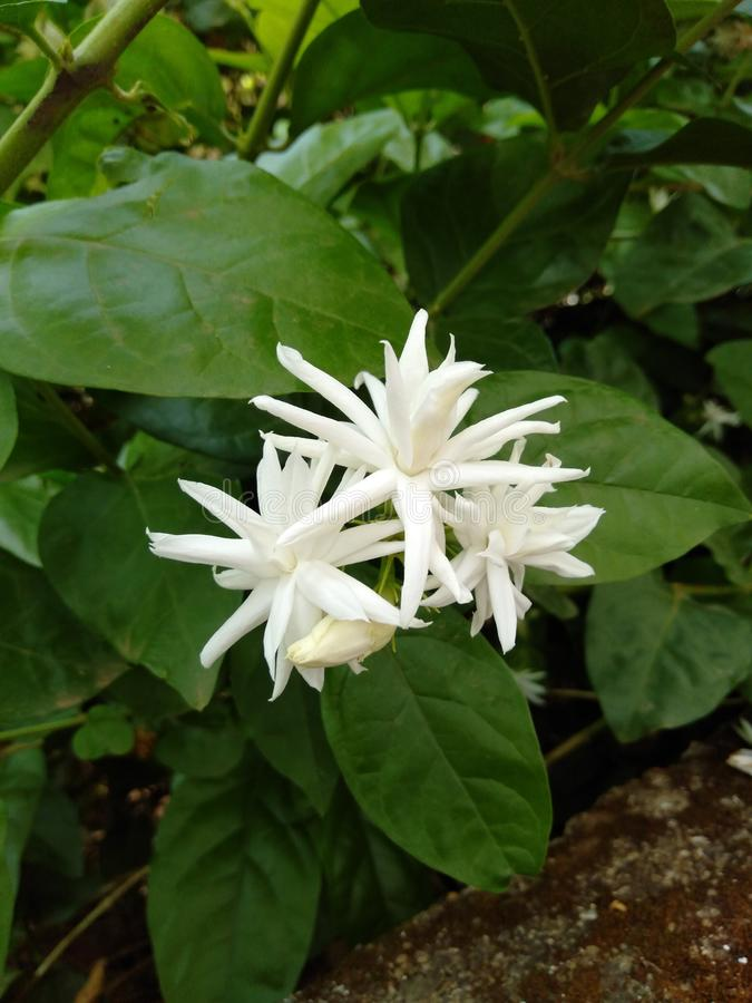 Flower. White white beautiful nature royalty free stock photos