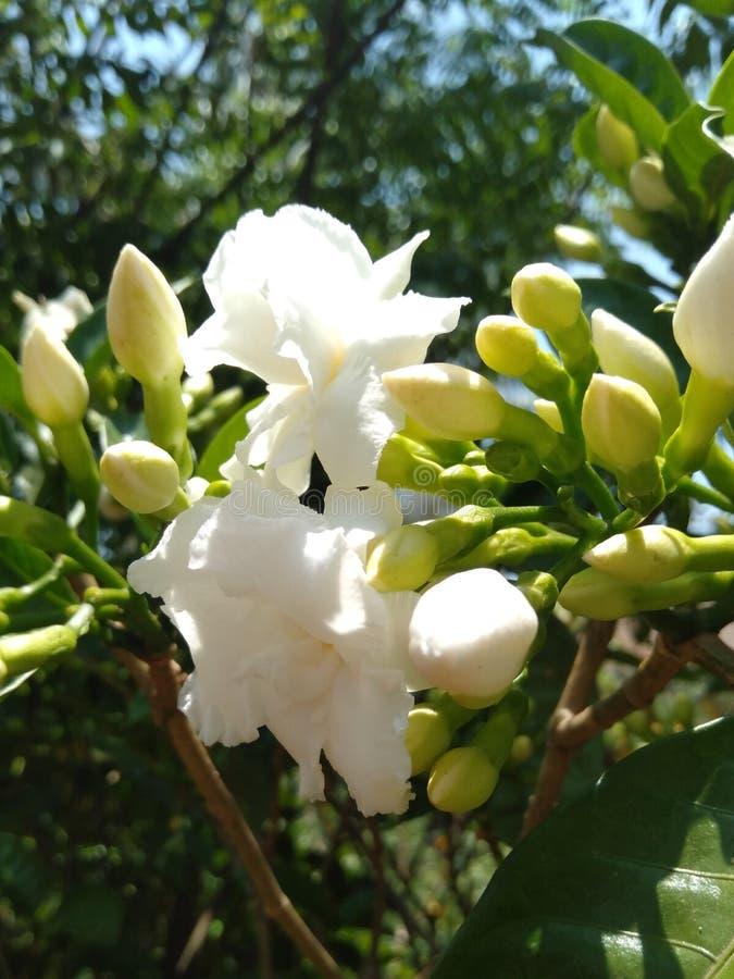 Flower. White nature beautiful creamof stock photography