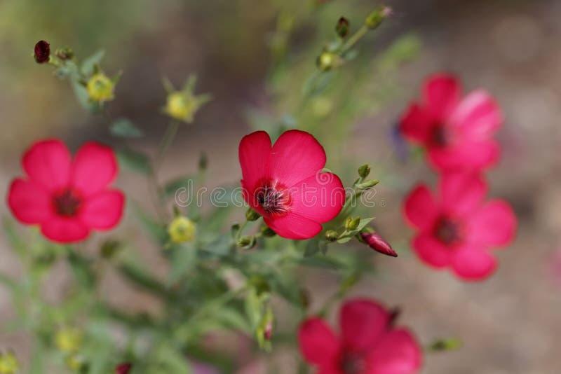 Flowering flax Linum grandiflorum royalty free stock images