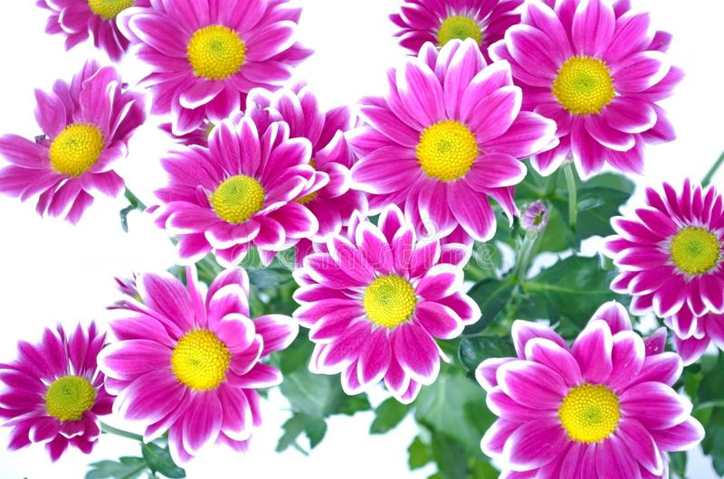 Flower, Flowering Plant, Marguerite Daisy, Garden Cosmos stock photos