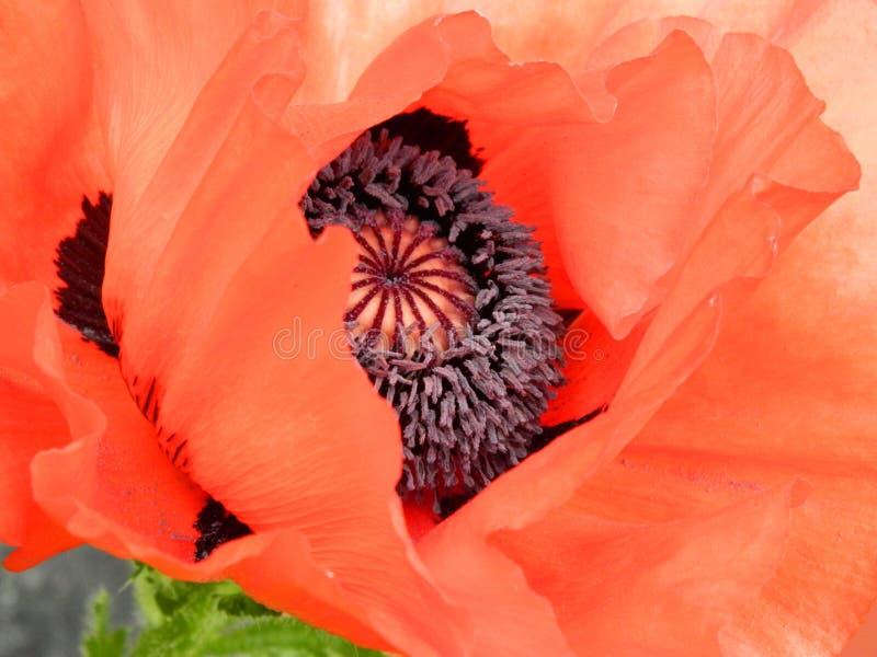 Flower, Flowering Plant, Petal, Poppy Free Public Domain Cc0 Image
