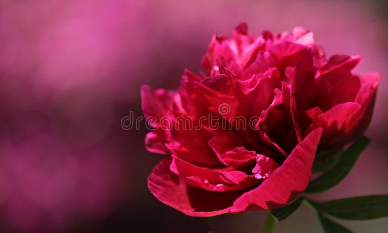 Flower, Flowering Plant, Pink, Peony royalty free stock image
