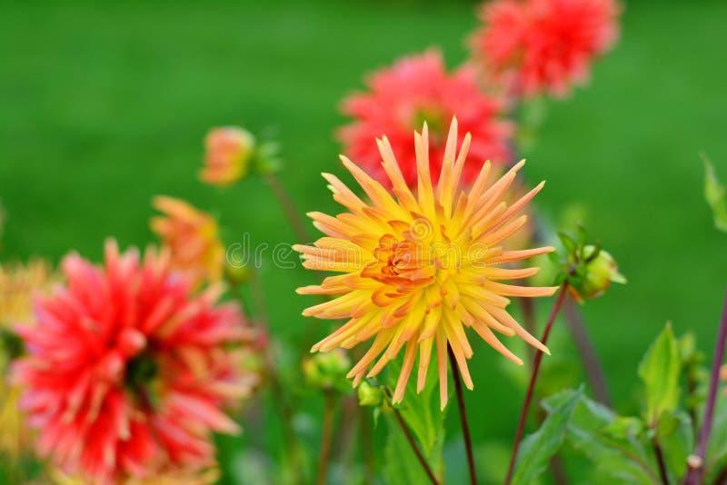 Flower, Flowering Plant, Plant, Dahlia Free Public Domain Cc0 Image