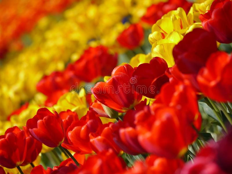 Flower, Flowering Plant, Yellow, Tulip stock images