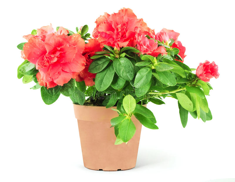 Flower in a flowerpot. Shot in a studio stock photography