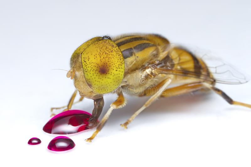 Flower fly eating red nectar on white floor royalty free stock photos