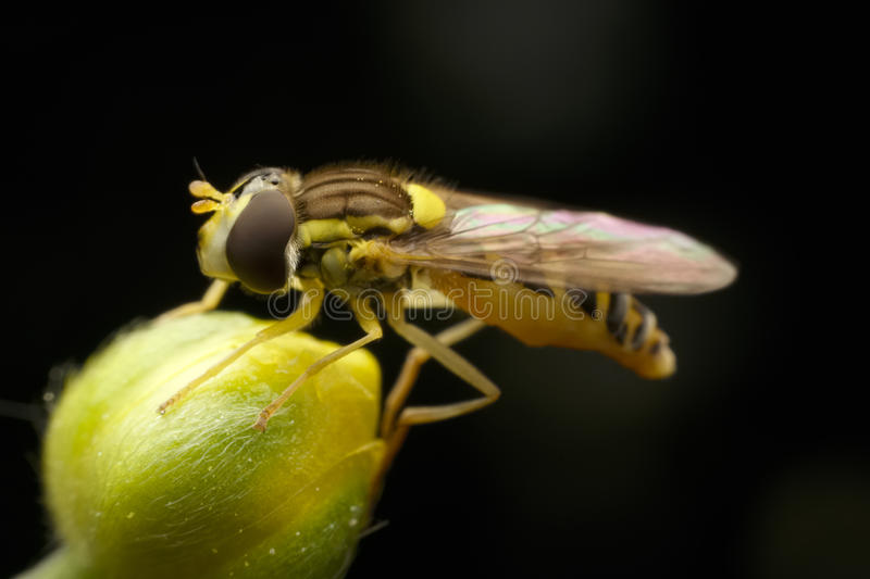Flower fly stock photos