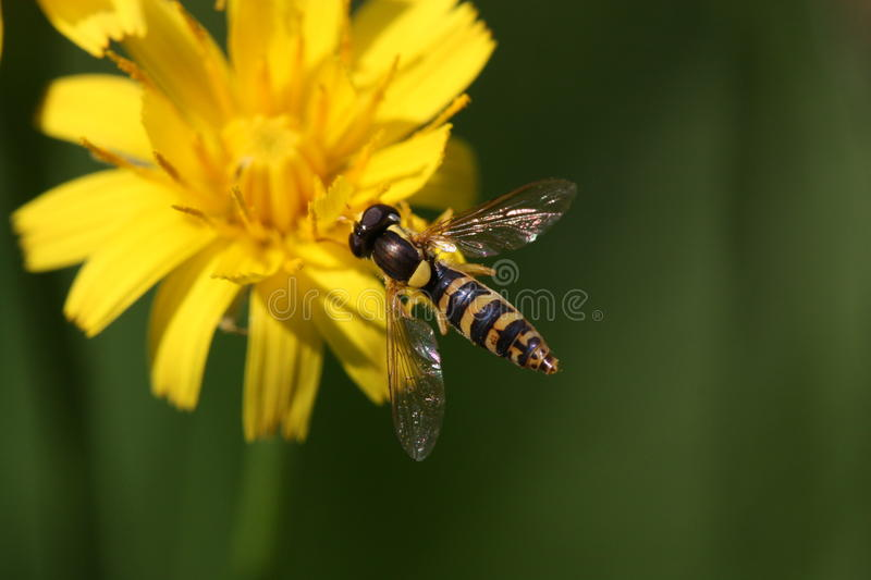 Flower-fly on yellow flower stock images