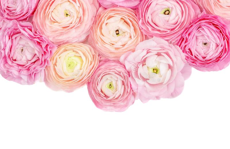 Flower Frame. Pink Ranunculus flowers isolated on a white background. Summer floral concept stock photos