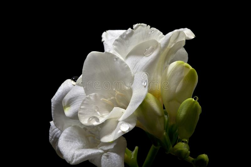 Flower of Freesia with drops of water on a black background. Freesia lat. Freesia Refract is a herbaceous plant, originating in South Africa. The tree above is stock images