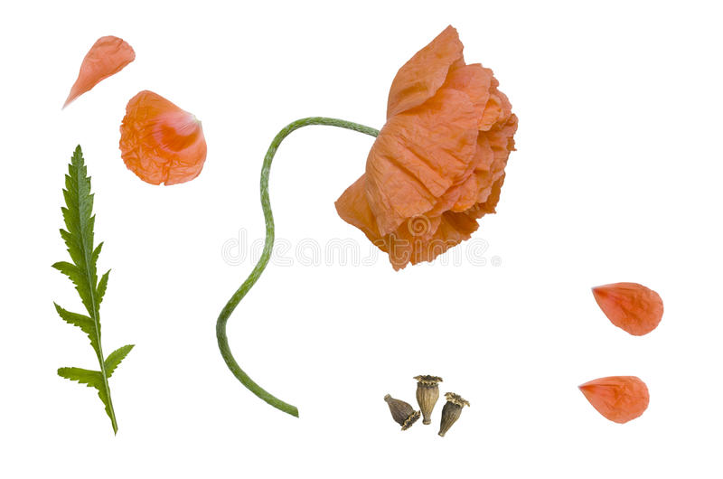 Flower, fruit and leaf poppy. Single red poppy flower on the stalk isolated on a white background stock photos
