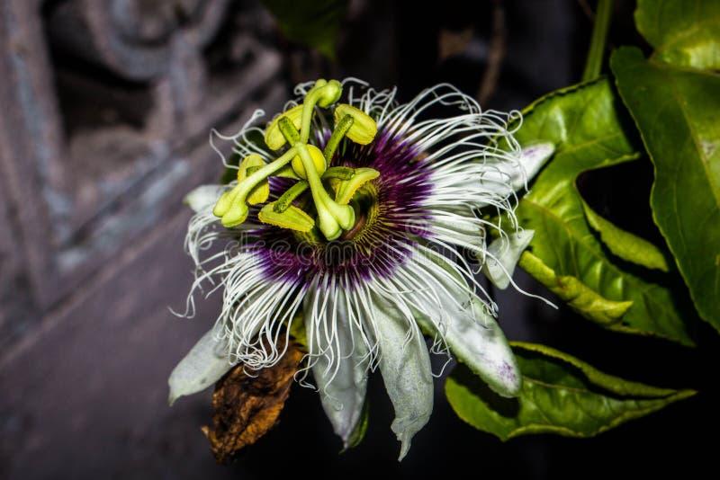 Passionfruit flower closeup nature plant. Flower fruit tree macro blossom leaf background royalty free stock images