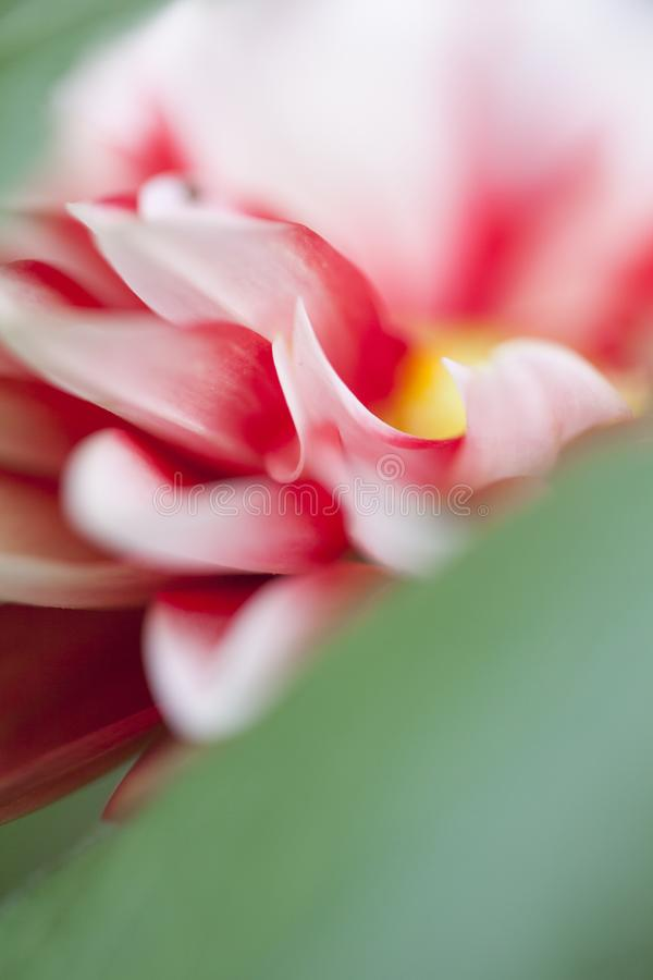 A flower full of beautiful red and white petal.  stock photography