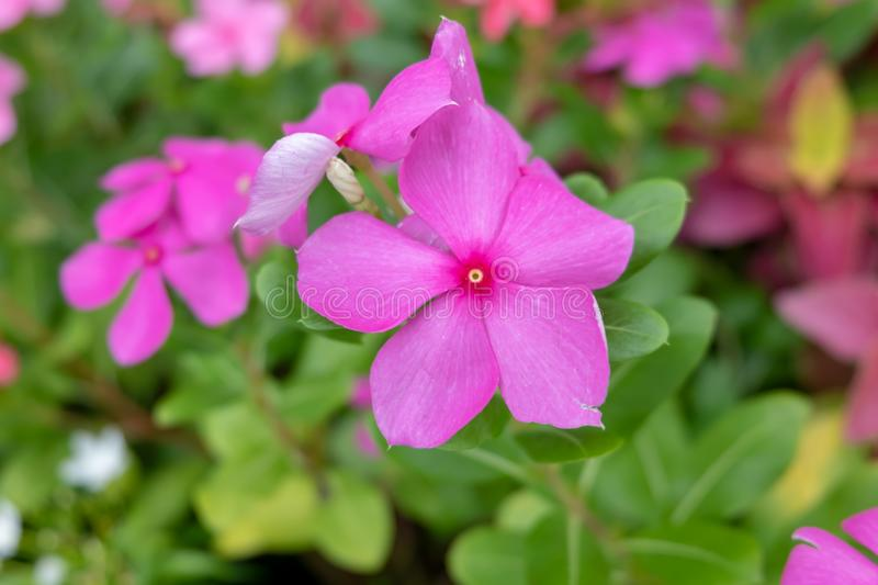 The Flower in the garden. The Beautiful purple flower in the garden stock photos