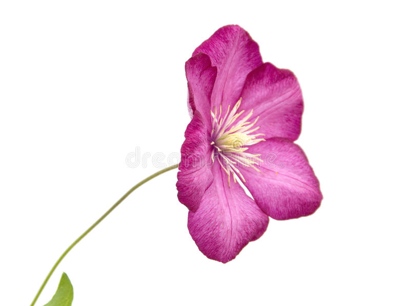 A flower of garden Clematis (virgin's bower). Isolated on white background stock images