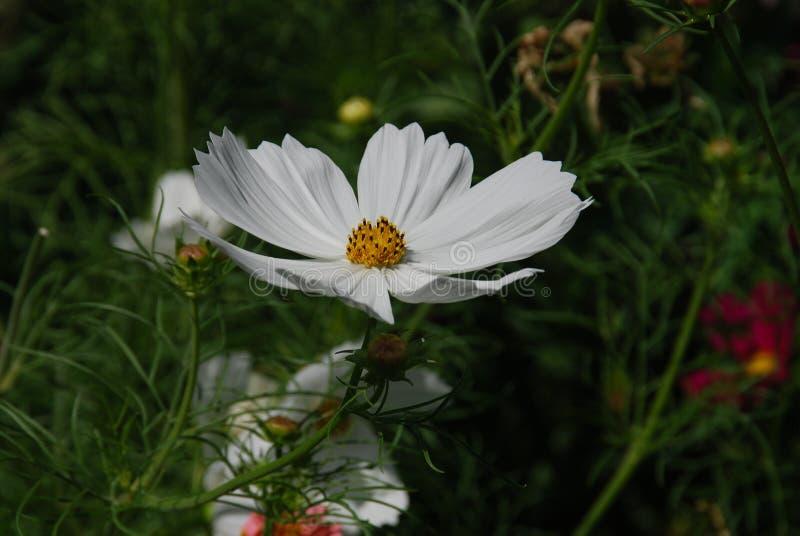 Flower, Garden Cosmos, Flora, Plant Free Public Domain Cc0 Image