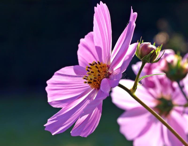 Flower, Garden Cosmos, Flora, Purple stock photography