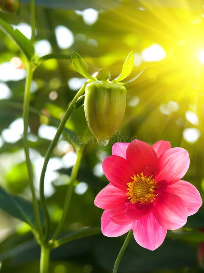 Download Flower  Garden  Pink  Petals Royalty Free Stock Image - Image: 10910596