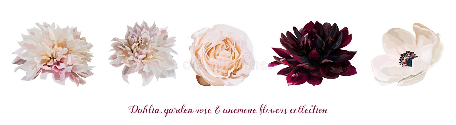 Flower Garden pink Rose, Dahlia Anemone designer different flowers natural peach, burgundy red light pink elements in watercolor s. Tyle set collection Vector royalty free illustration